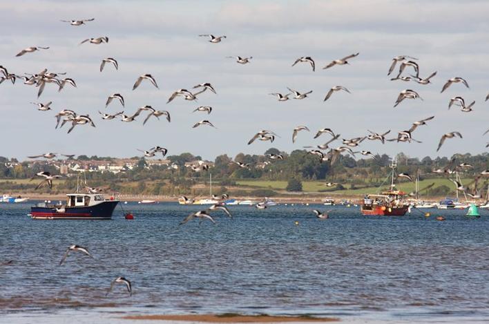 Exe estuary migratory birds